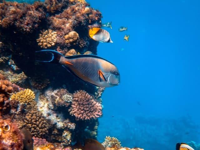 Rodezeedoktersvis gevaarlijk