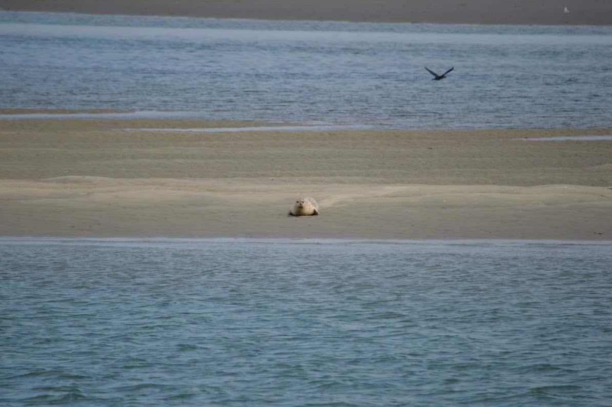 Noordzee, de gevaren van het zwemmen in zee. Strand zeehond