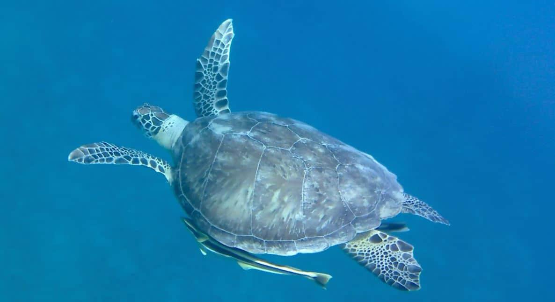 snorkelen schildpad met zuigvissen marsa alam aurora bay oriental resort huisrif egypte